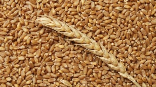 Пшеница, зерно урожай 2019 продаем франко-вагон FCA
